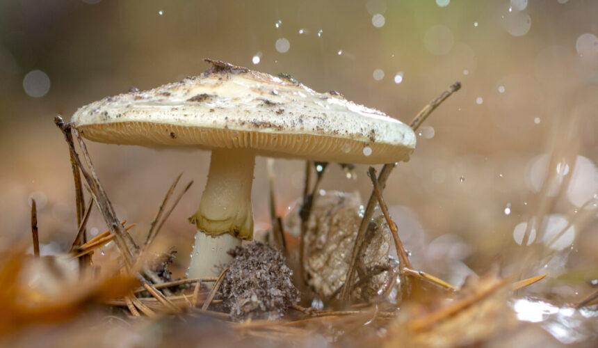 Uważaj na grzyby. Wątroba może nie wytrzymać.